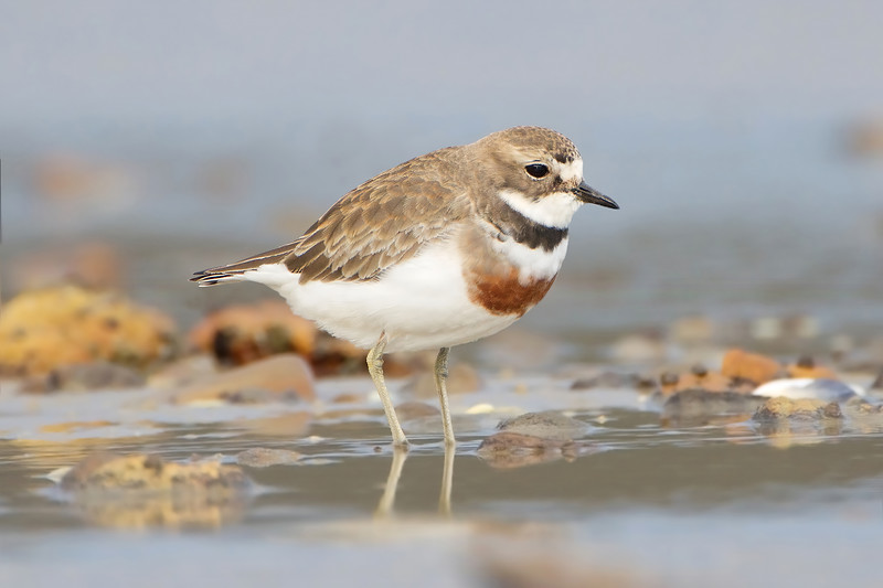 Double-banded Plover breeding plumage