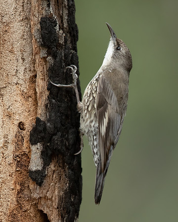 White-throated Treecreeper