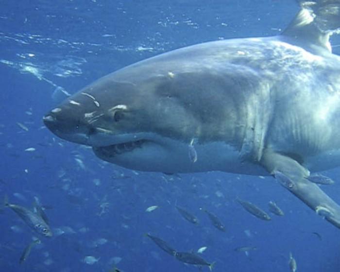 Great White Shark, Neptune Islands, Australia
