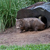Australia Zoo, Wombat<br /> RTW Trip - Brisbane, Australia