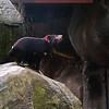 Australia Zoo, Tazmanian Devil<br /> RTW Trip - Brisbane, Australia