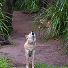 Australia Zoo, Dingo<br /> RTW Trip - Brisbane, Australia