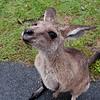 Australia Zoo, Kangaroo<br /> RTW Trip - Brisbane, Australia