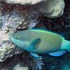 Parrot Fish<br /> Upper Ribbon Reefs<br /> RTW Trip - Great Barrier Reef, Australia