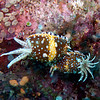 Nudibranch<br /> Upper Ribbon Reefs <br /> RTW Trip - Great Barrier Reef, Australia