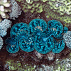 Giant Clam<br /> Upper Ribbon Reefs<br /> RTW Trip - Great Barrier Reef, Australia