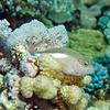 Arc Eye Hawkfish<br /> Upper Ribbon Reefs <br /> RTW Trip - Great Barrier Reef, Australia