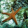 Fromia Starfish<br /> Upper Ribbon Reefs<br /> RTW Trip - Great Barrier Reef, Australia