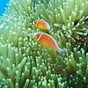 Pink Skunk Clownfish<br /> Upper Ribbon Reefs <br /> RTW Trip - Great Barrier Reef, Australia