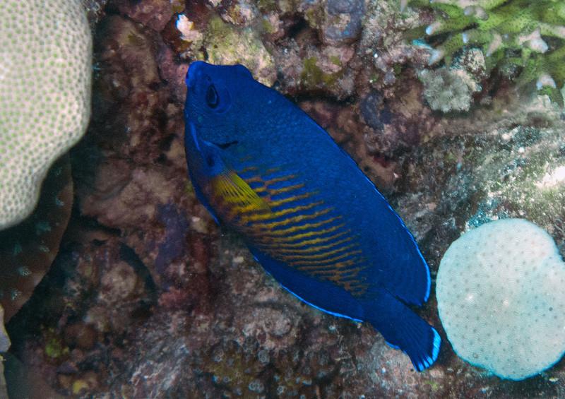 Coral Beauty<br /> Upper Ribbon Reefs<br /> RTW Trip - Great Barrier Reef, Australia