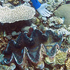 Giant Clam<br /> Upper Ribbon Reefs <br /> RTW Trip - Great Barrier Reef, Australia