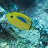 Blue Spot Butterflyfish<br /> Upper Ribbon Reefs<br /> RTW Trip - Great Barrier Reef, Australia