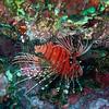 Spotfin Lionfish<br /> Upper Ribbon Reefs <br /> RTW Trip - Great Barrier Reef, Australia