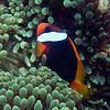 Cinnamon Clownfish<br /> Upper Ribbon Reefs  <br /> RTW Trip - Great Barrier Reef, Australia