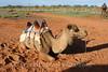 Stewarts Well - Camel Rides