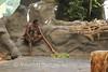 Cairns - Tjapukai Aboriginal Cultural Park - Didgereidoo