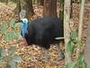 Cairns - Zoo - Cassowary
