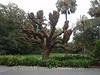 Melbourne - Botancial Gardens - Cockscomb Coral Tree