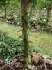 Huahine - Vanilla vine growing on tree