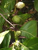 Marquesas - Nuku Hiva - Noni Plant in 4 stages