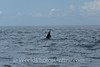 Moorea - Spinner Dolphin 3