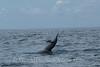 Moorea - Spinner Dolphin 1