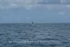 Moorea - Spinner Dolphin 2