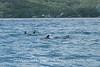 Moorea - Spinner Dolphin Pod