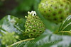 Moorea - Kallum Gardens -Noni Fruit in Bloom