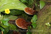 Moorea - Kallum Gardens -Fungus