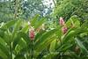 Moorea - Kallum Gardens - Ginger