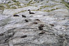 Doubtful Sound - Fur Seals on Nee Island S