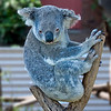 "The koala gets its name from an ancient Aboriginal word meaning ""no drink"" because it receives over 90% of its hydration from the Eucalyptus leaves (also known as gum leaves) it eats, and only drinks when ill or times when there is not enough moisture in the leaves. ie during droughts etc. <br /> <br /> The koala is the only mammal, other than the Greater Glider and Ringtail Possum, which can survive on a diet of eucalyptus leaves."