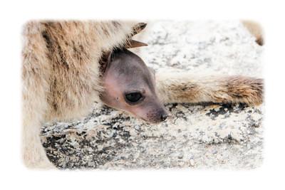 Mareeba Rock Wallaby Joey