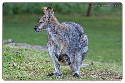 Red-necked Wallaby & Joey