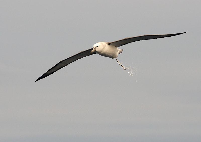Shy Albatross - Eaglehawk Pelagic, Tasmania
