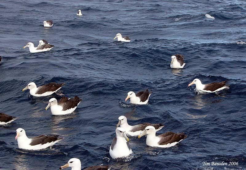 Shy Albatross - Port Fairy Pelagic - Victoria