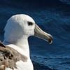 Shy Albatross - Portland Pelagic, Victoria