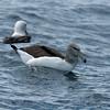 Shy Albatross (steadii) - Portland Pelagic, Victoria