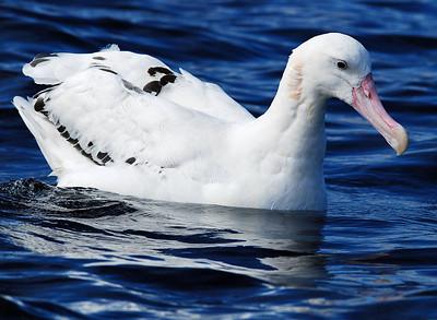 Wandering type Albatross