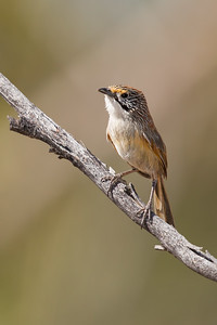 Striated (Rusty) Grasswren