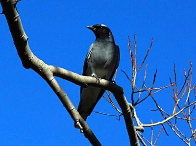 Black-faced Cuckoo-shrikes
