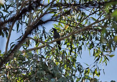 Cicadabird