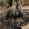 Emu - Mareeba, QLD