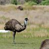 Emu - Wilson's Prom