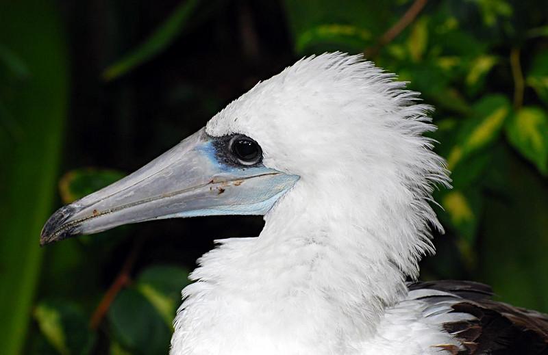 Abbott's Booby - Christmas Island