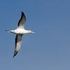 Australasian Gannet - Portland Pelagic, Vic