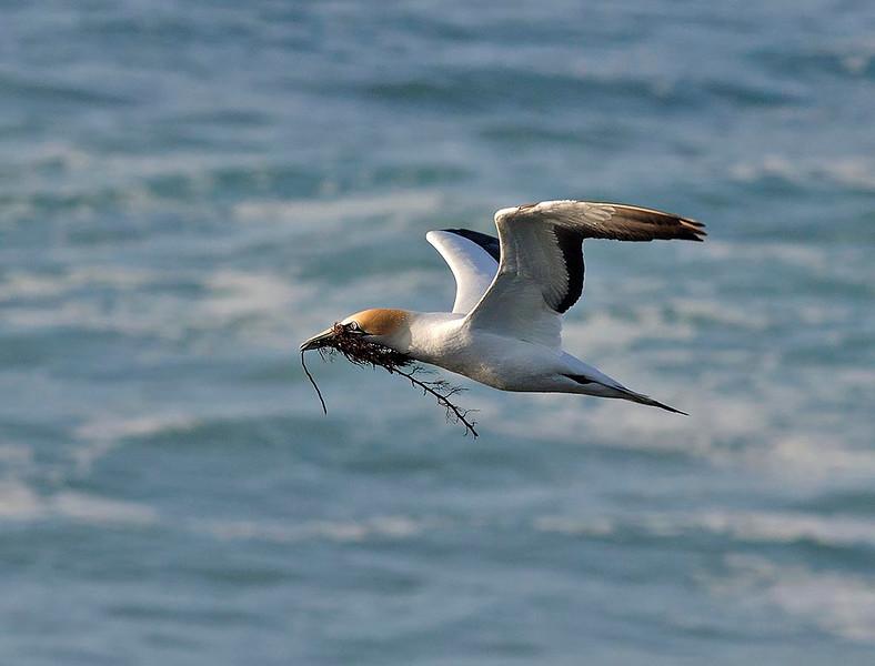 Australasian Gannet - Point Danger, Vic