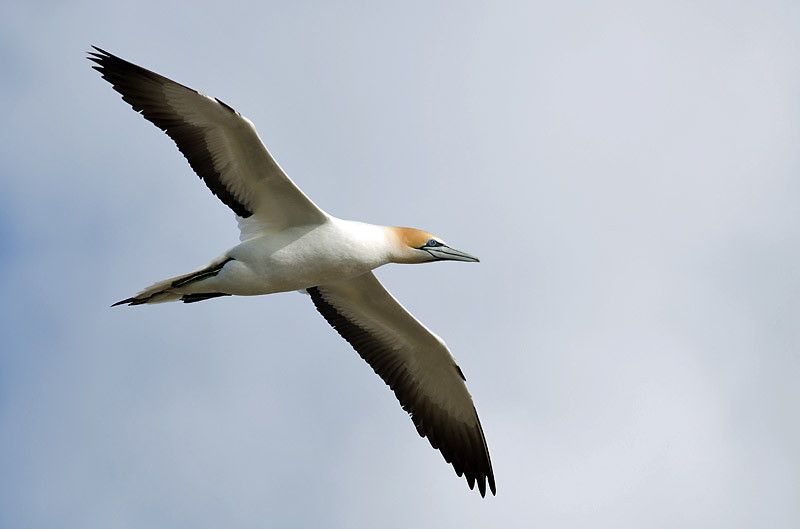 Australasian Gannet - Point Danger, Vic