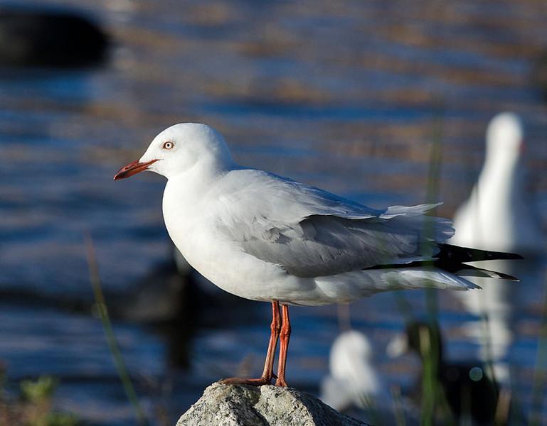 Silver Gull - Karkarook Park, Vic